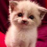 Gülen yavru kedi