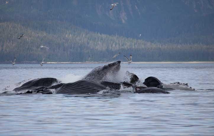 insanların hayatını kurtaran balinalar