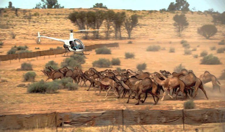 Avustralya'da 10 bin deve çok su içtiği için öldürülecek!